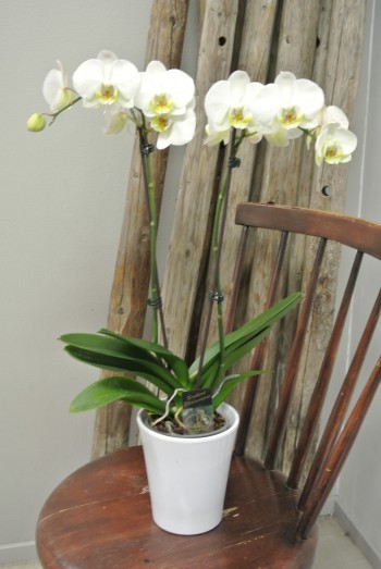 Orkidean Hoito-Ohje